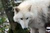 Polar-Wolf
