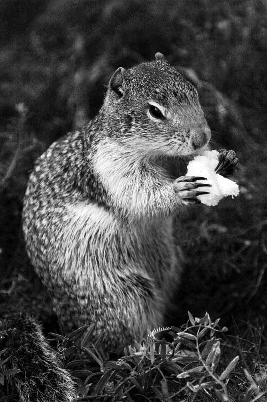 Columbia-Ground-Squirrel